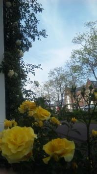 黄色いバラと青空