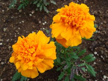 キンデルダイクの花